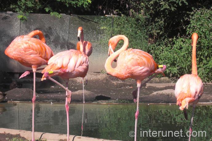 American-Flamingo