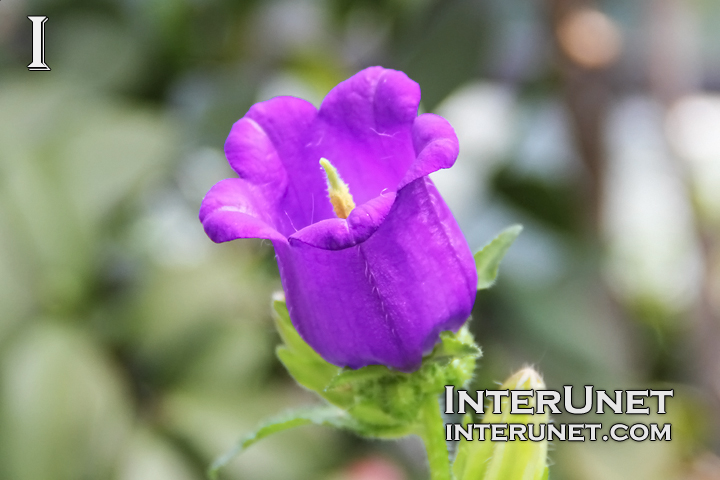 flower-purple-beautiful