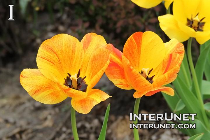 amazing-tulips