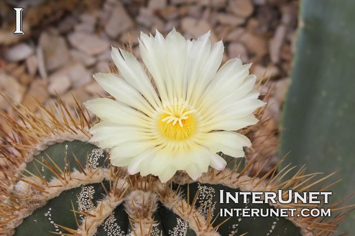 blooming-cactus