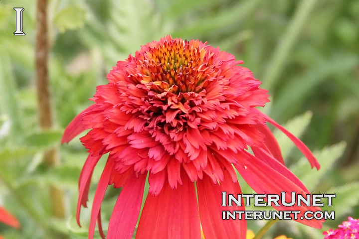 beautiful-red-flower