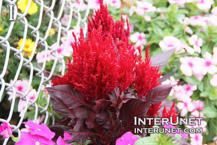 flower-red-beautiful