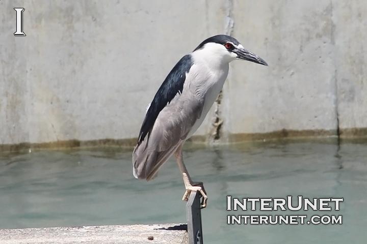 grey-bird