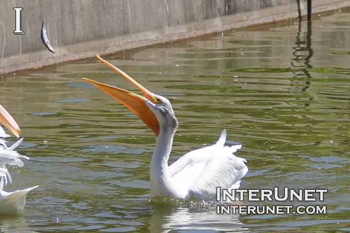 pelican-catching-fish