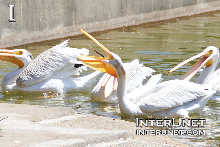 pelican-is-catching-fish