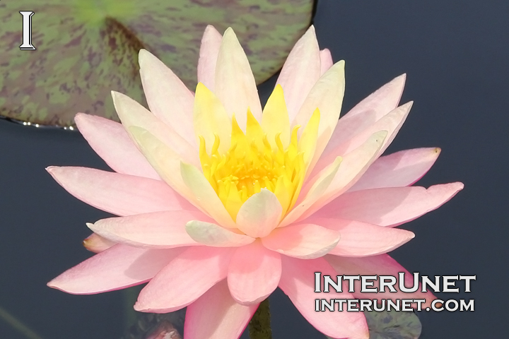 water-lily-pink