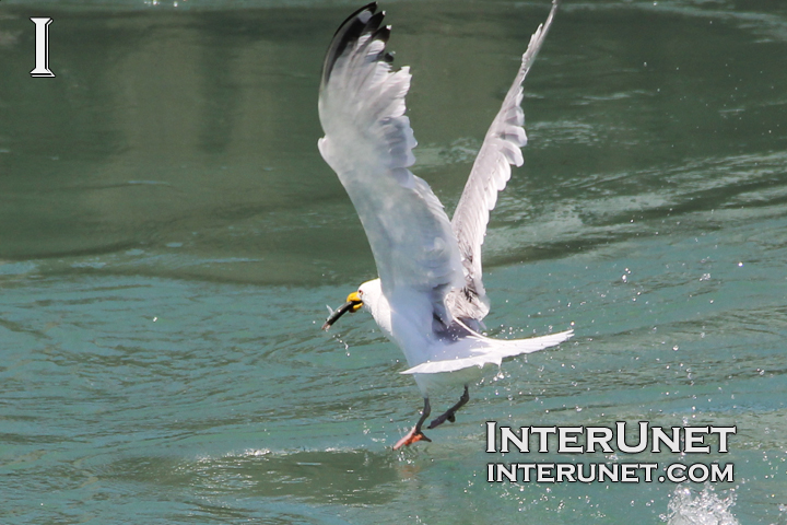 seagull-caught-a-fish