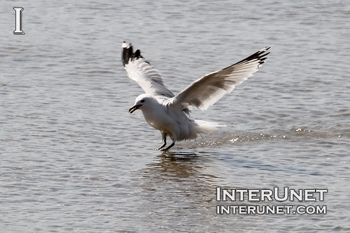seagull-landing-on-the-lake