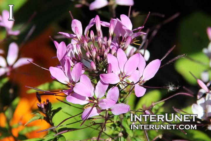 spider-flower