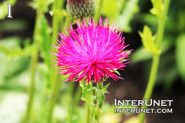 spiky-pink-flower