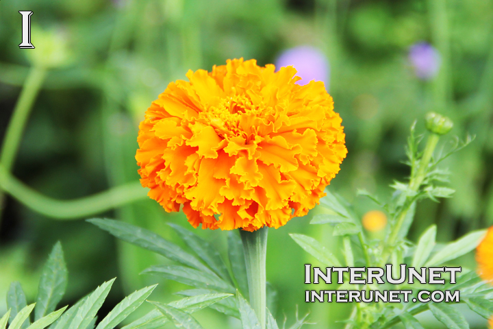 Tagetes erecta 'Kees Orange' Aztec Marigold