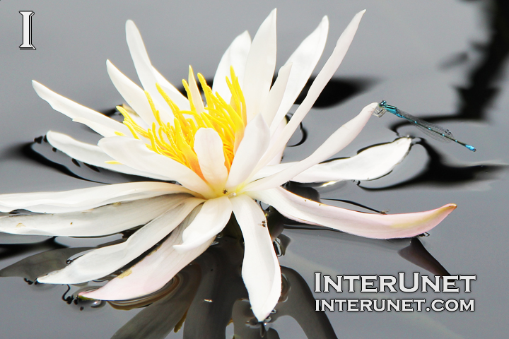 dragonfly-on-white-water-lily