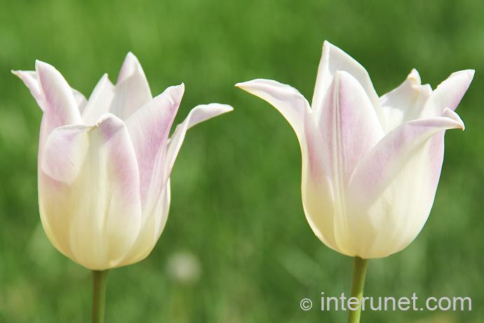 white-with-purple-shade-tulips