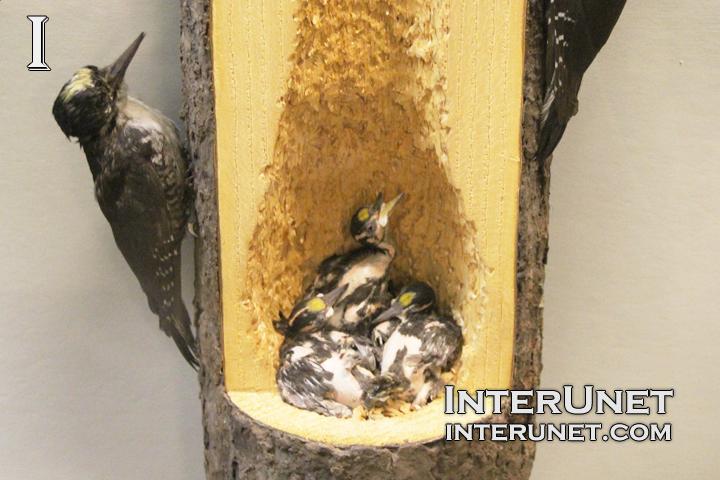 woodpecker-nest