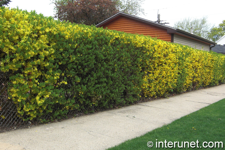hedge-with-chain-link-fence-combination