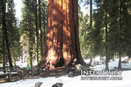 Giant-sequoia-tree