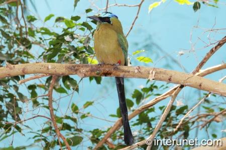 Blue-Crowned-Motmot