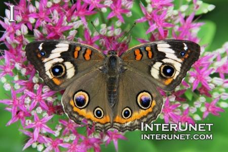 Buckeye-Junonia-coenia-beautiful-butterfly