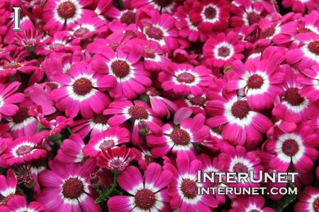 Florist Cineraria Pericallis x hybrid 'Jester series', Asteracceae. Cool season annual