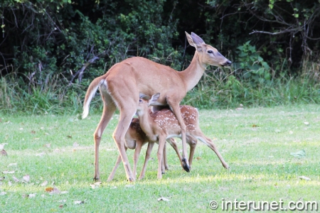 baby-deer-drink-milk-from-their-mother