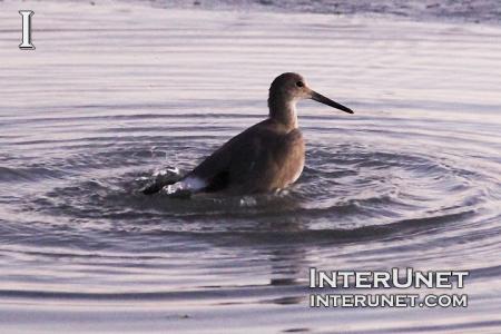 sandpiper-in-the-water