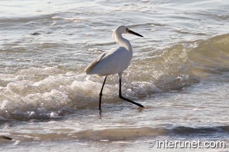 white-heron-walking-in-the-water