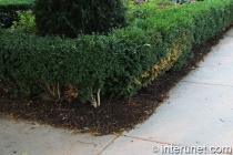 corner-hedge-fence