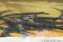 Alligators-in-Everglades-Alligator-Farm