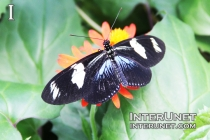 Blue-andWhite-Longwing-butterfly