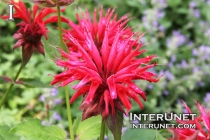 Monarda didyma Cambridge Scarlet Bee Balm