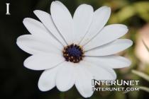 Cape Daisy Osteospermum Hybrid 'Sideshow White'