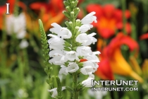 Physostegia virginiana 'Crystal Peak White'