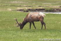 Elk-in-Yellowstone-National-Park