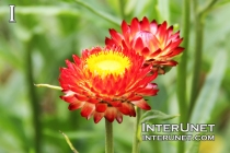 Xerochrysum bracteatum 'Monster Fireball Red' Strawflower