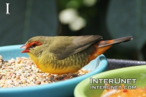 Orange-breasted-Waxbill
