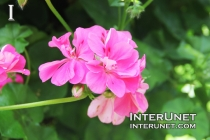 Pink-Ivy-Geranium