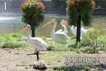 Pelicans-in-Brookfield-Zoo