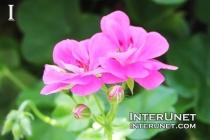 Pink-Ivy-Geranium-Pelargonium-peltatum