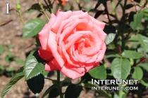 Rosa Tanorstar, Tropicana, Hybrid Tea Rose