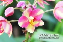 Spathoglottis-Ground-Orchid
