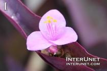 Tradescantia Pallida 'Purpurea' Purple Heart, Spiderwort Family (Commelinaceae)