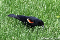 tricolored-blackbird