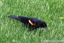 tricolored-blackbird