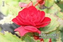 Begonia-Bliss-Scarlet-Tuberous-Begonia