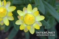 Xerochrysum bracteatum - Mohave, Yellow Strawflower