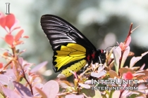 yellow-black-white-butterfly