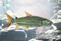 lake-fish