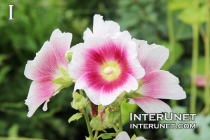Alcea rosea, Halo Mix Hollyhock