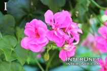 an-amazing-pink-flower