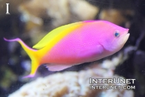 bartlett's anthias, Pseudanthias bartlettorum